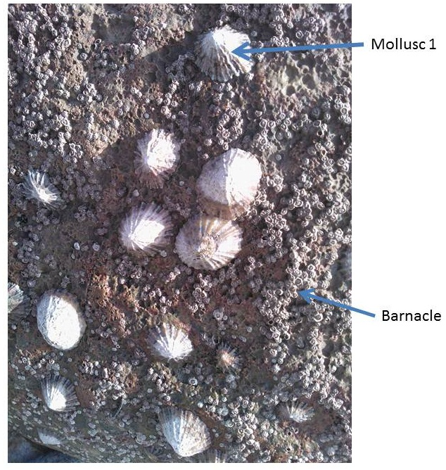 mollusc and barnacle pictures